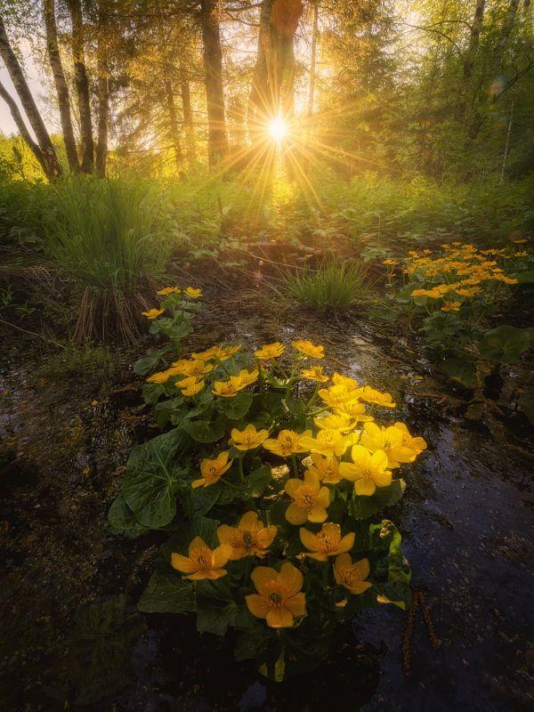 цветы, весна, лес Цветение калужницы болотнойphoto preview