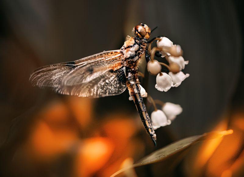природа, макро, весна, цветы, ландыш, насекомое, стрекоза Испытание огнемphoto preview