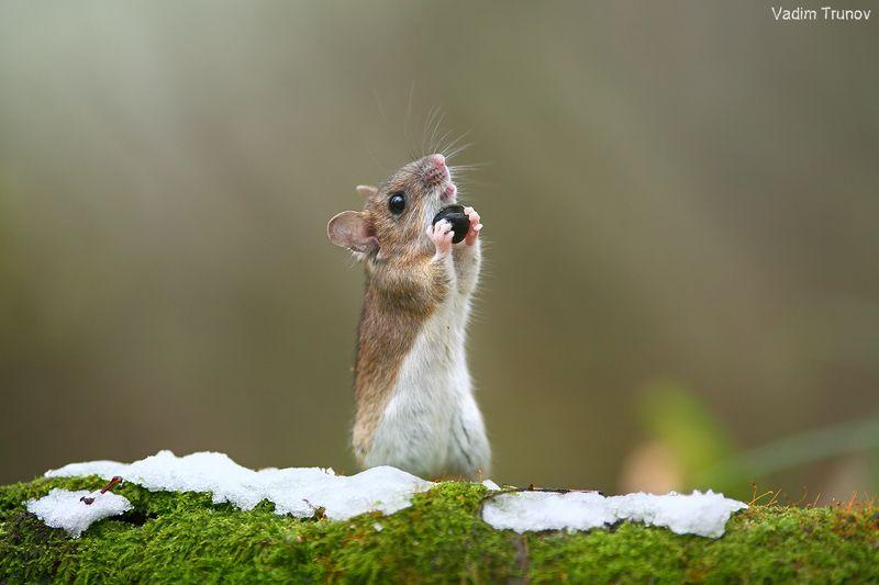 мышь Счастливый мышонокphoto preview