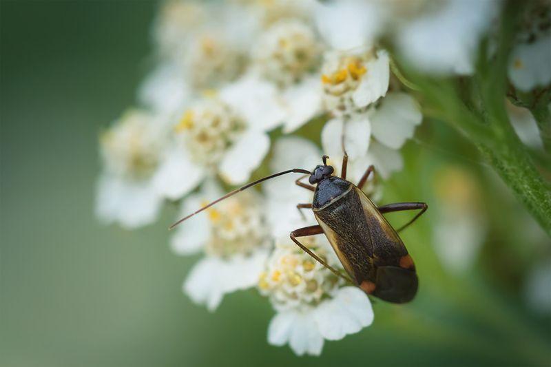 жук, макро, macro, bug Одноусый жукphoto preview