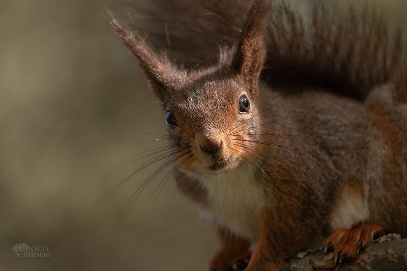 squirrel,animal,wildlife,norway,forest,woodland, Face to Facephoto preview