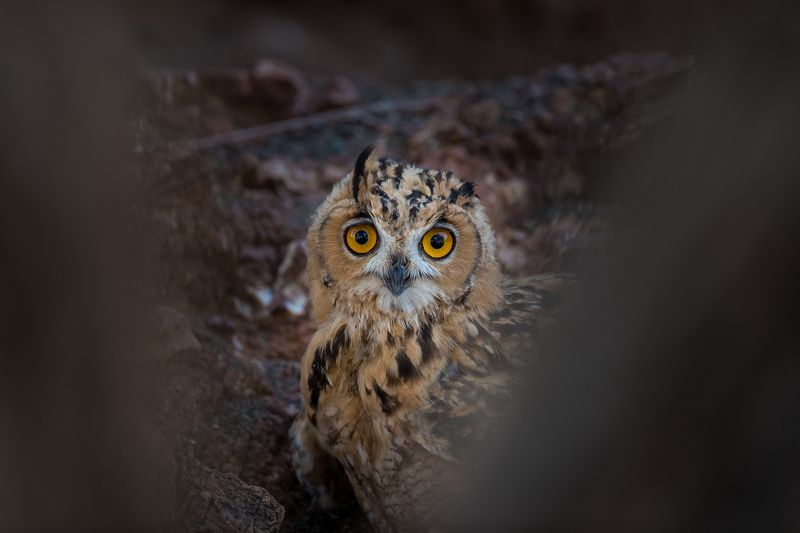Birds owl  Peek a boo photo preview