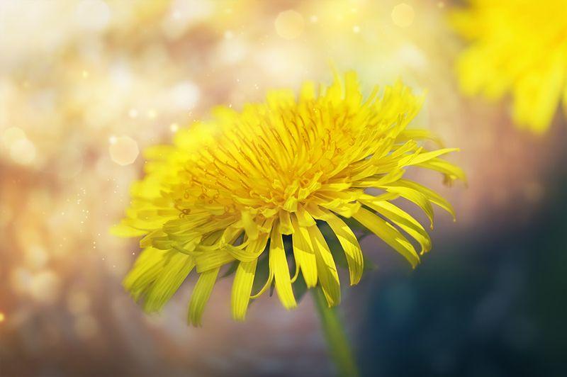 цветок, одуванчик, макро, dandelion Цвет настроения \