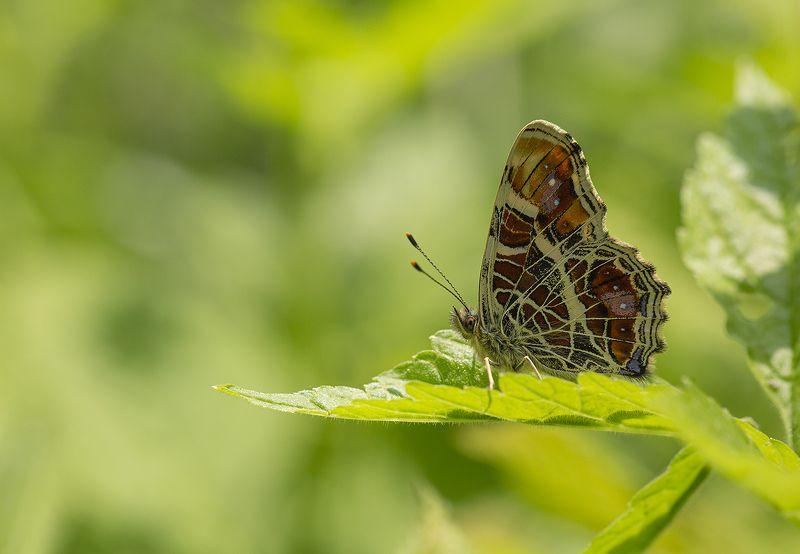 бабочка пестрокрыльница araschia Про пестрокрыльницу фото превью