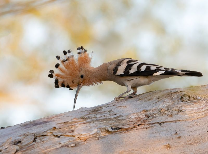 птицы,природа, весна Удодphoto preview