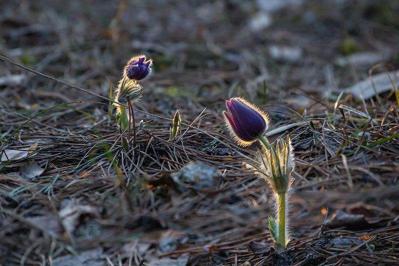 сон-трава, прострел раскрытый, мещёра, рязанская область, весна, закат Как бы мне, рябине, к дубу перебраться …photo preview