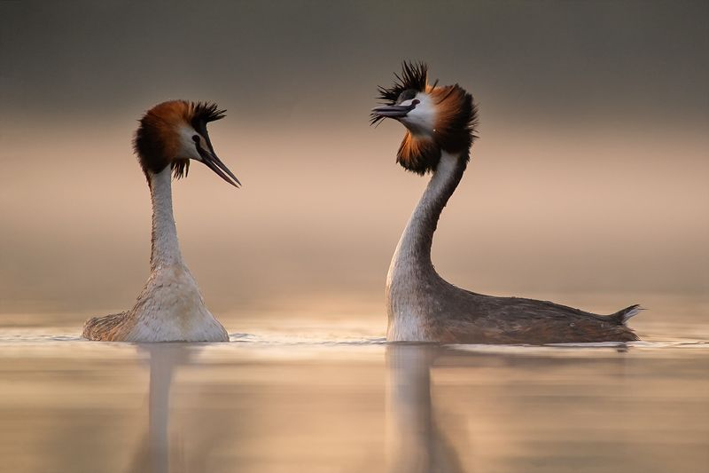 podiceps cristatus, perkoz dwuczuby, great crested grebe ***photo preview