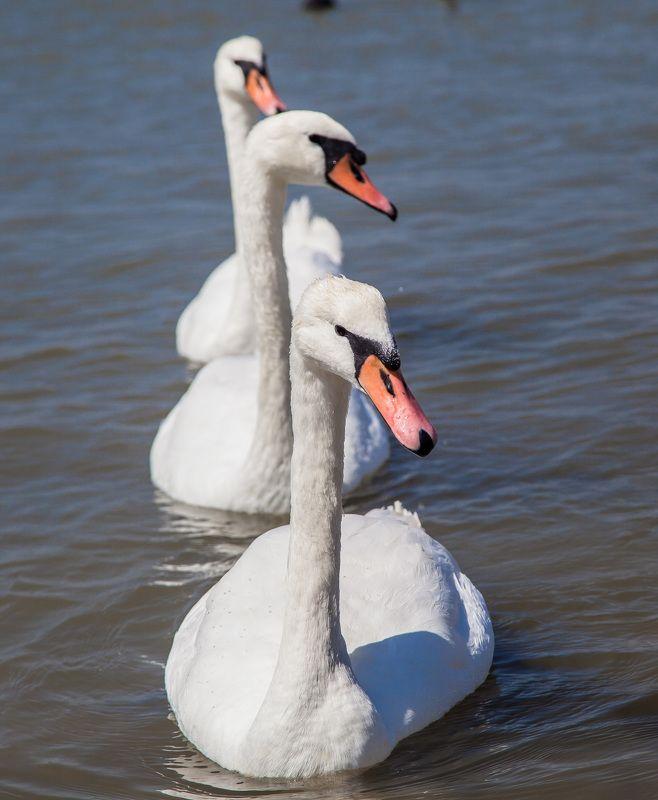 лебеди, озеро Танец маленьких лебедейphoto preview