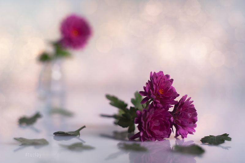 хризантемы Про маленькую хризантему октябряphoto preview