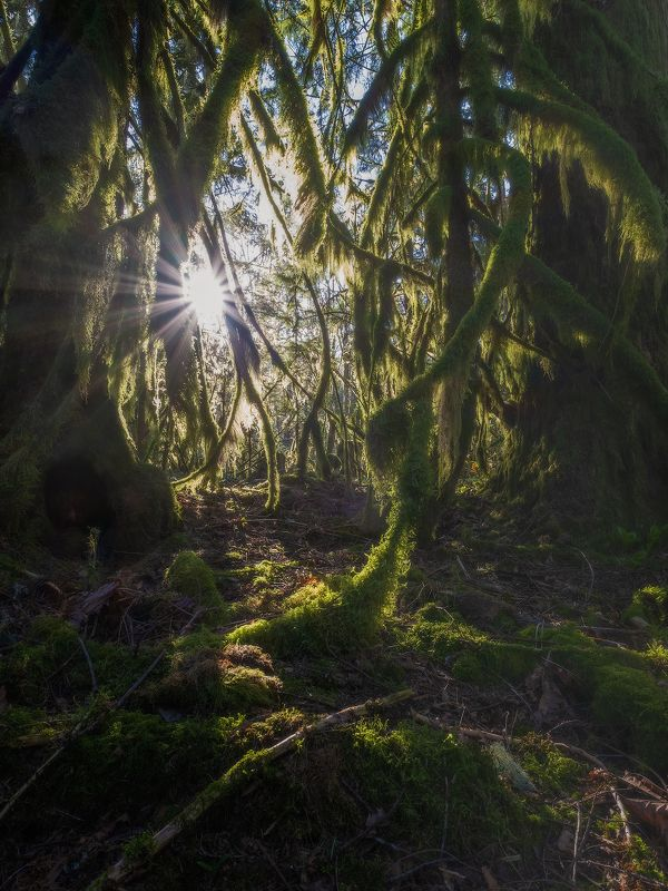 canada, moss, old, tree, forest, СКАЗКИ МОХНАТОГО ЛЕСАphoto preview