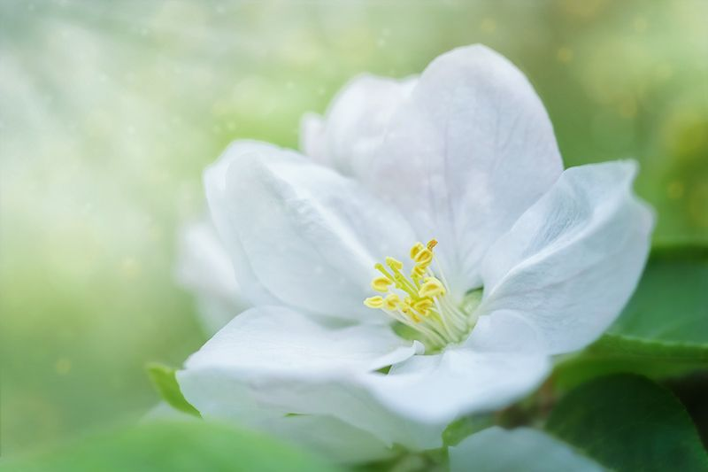 blooms, цветение, цветок, алыча, cherryplum, flower, макро, macro  Цветок нежится в лучах солнцаphoto preview