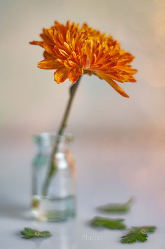 хризантемы Октябрьский этюдphoto preview