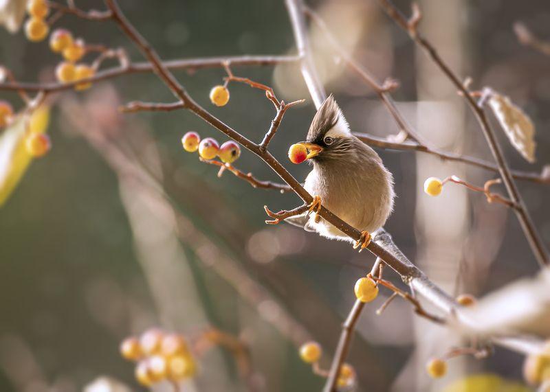 white-collared yuhina, birds, animals, wild The White-collared yuhinaphoto preview