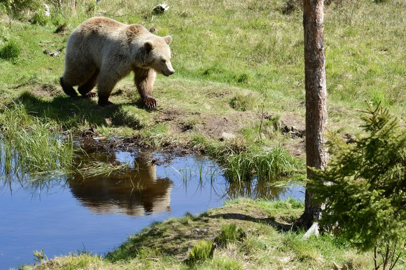 Animals, brown bear, fauna, nature, Norway, summer, water, watering hole, tree, reflection,  На водопой...photo preview