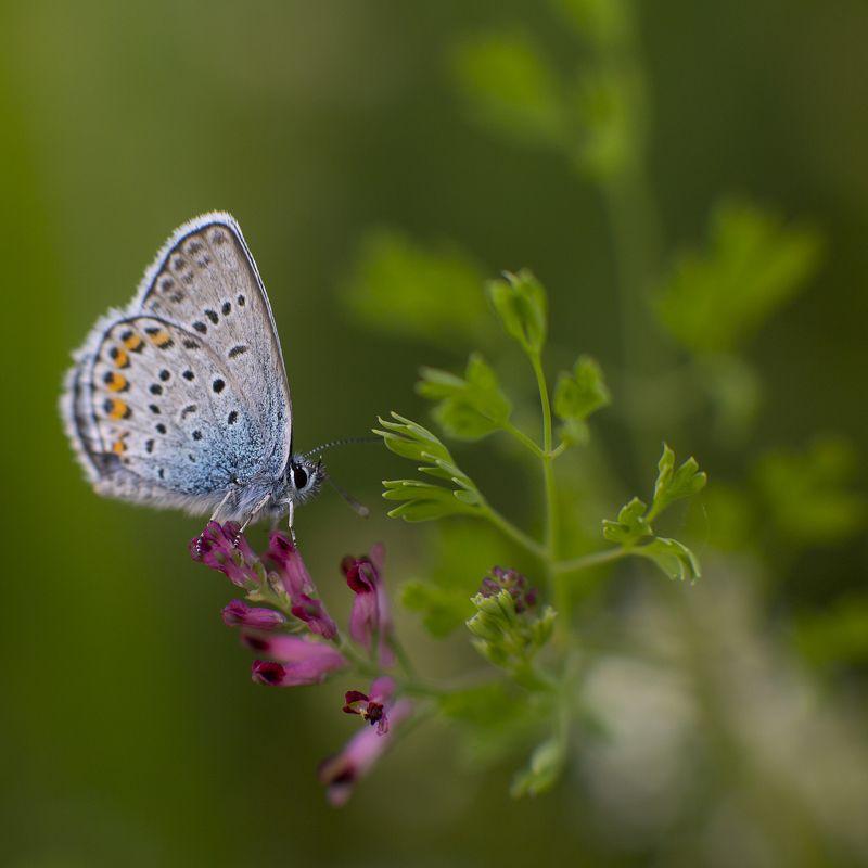 живая природа Голубянкаphoto preview