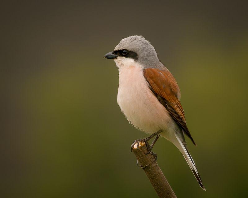 сорокопут, жулан, птицы, лето, birds, wildlife, red-backed shrike Жуланphoto preview