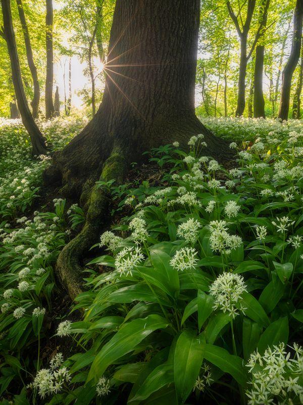 nature, landscape, colors, sunrise, wild garlic, trees wild garlicphoto preview