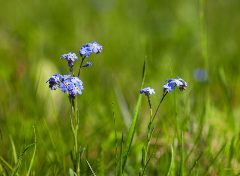 природа, цветы, полевые цветы, луговые цветы, незабудка, трава, макро Незабудкиphoto preview