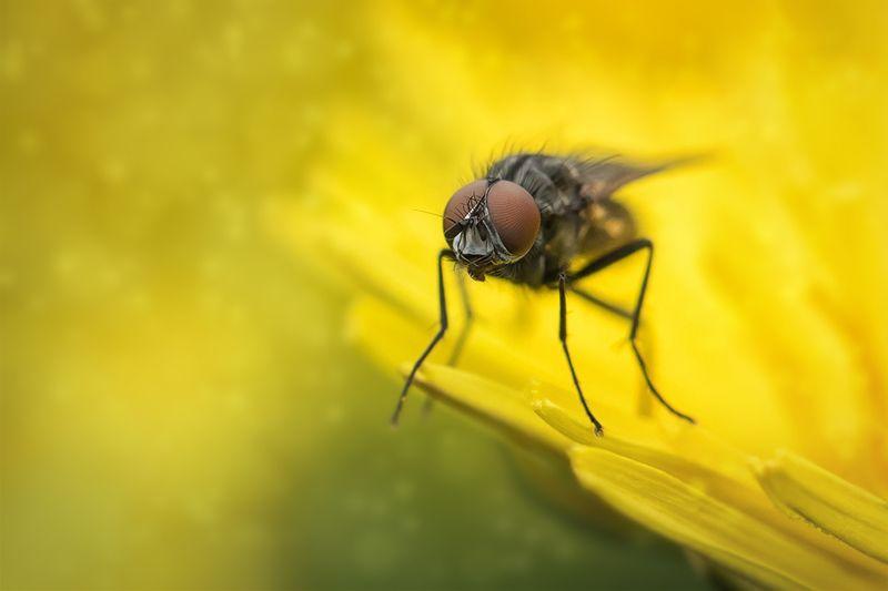 муха, макро, насекомое, macro, fly Мухи тоже любят одуванчики))photo preview