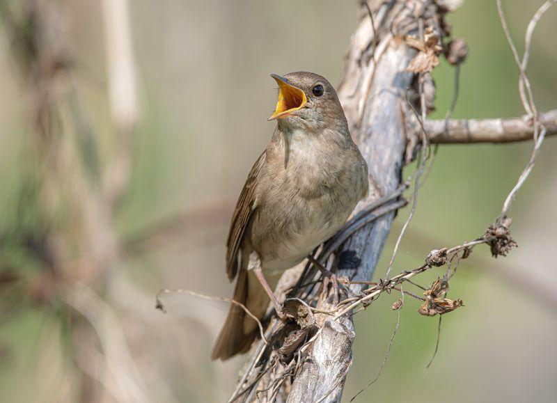 птицы,природа, весна Соловейphoto preview