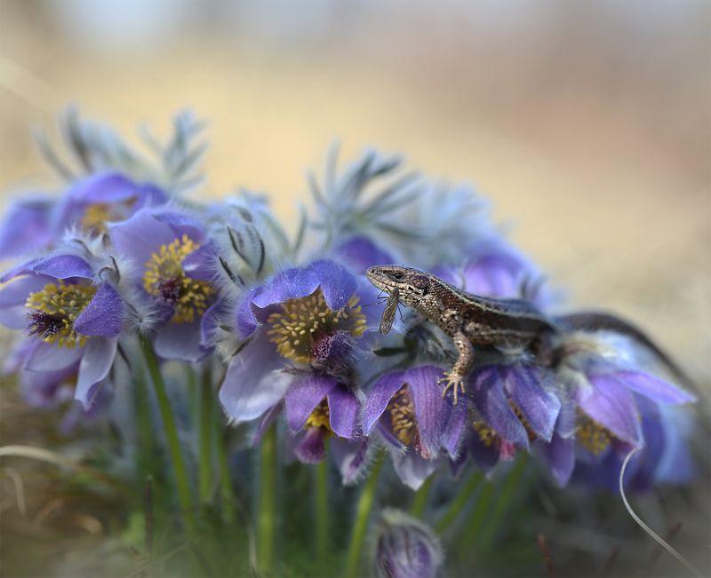 нерюнгри, ящерица, живородящая_ящерица, комар, прострел, весна, якутия, сон_трава Кто кого?photo preview