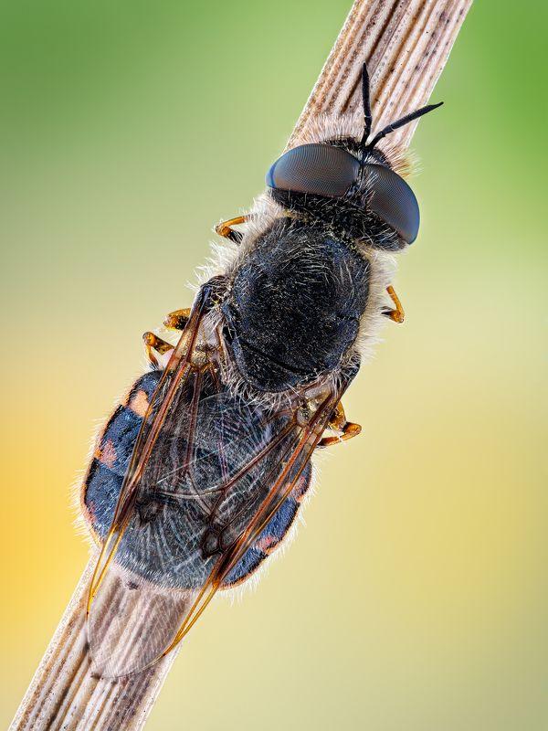 irass, waledzik, nat geo, olympus, close up, macro, extreme macro, макро Odontomyia argentata.photo preview