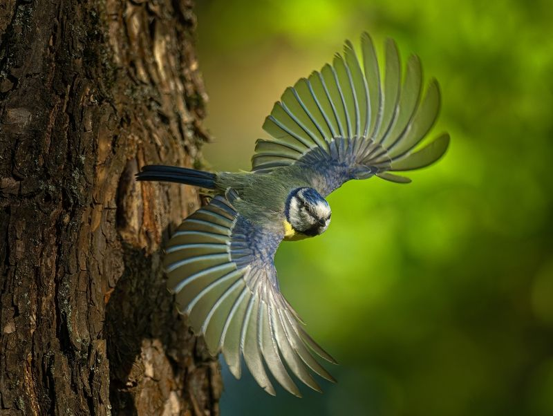 #птицы #лазоревка #полет Лазоревка летитphoto preview