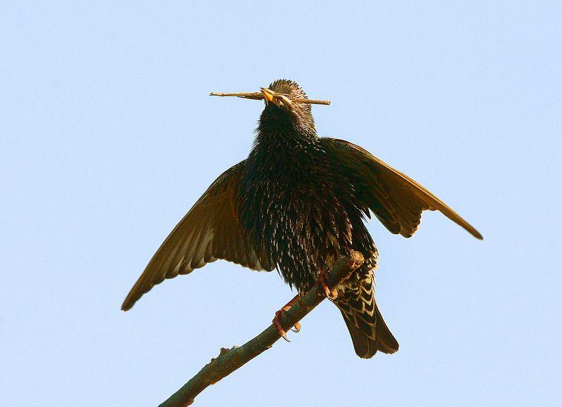 начав строить гнездо, скворец не удержался и, с соломиной во рту(как джигит с кинжалом),запел свою весеннюю песню. Асса!!!photo preview