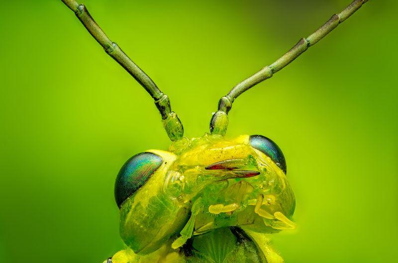 зелёный пилильщик, макро, макропортрет, насекомые, вредители, сад, природа зелёный пилильщикphoto preview