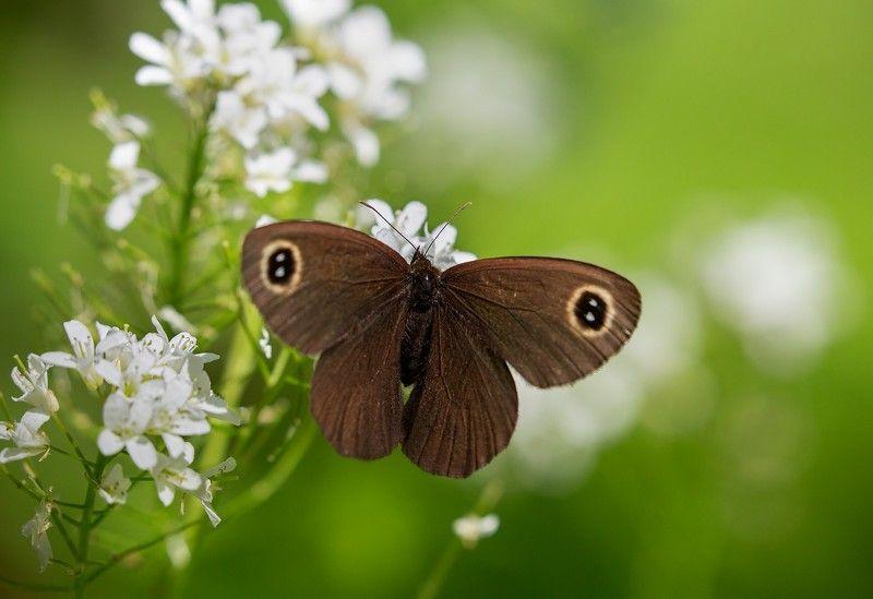 бабочка бархатница май окрестности владивостока Бархатница фото превью