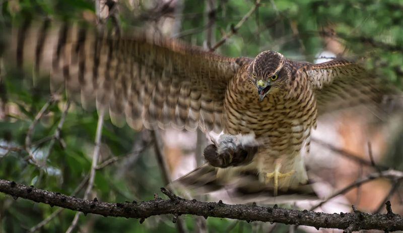 птица, ястреб перепелятник , охотник, трофей, Охотник..photo preview