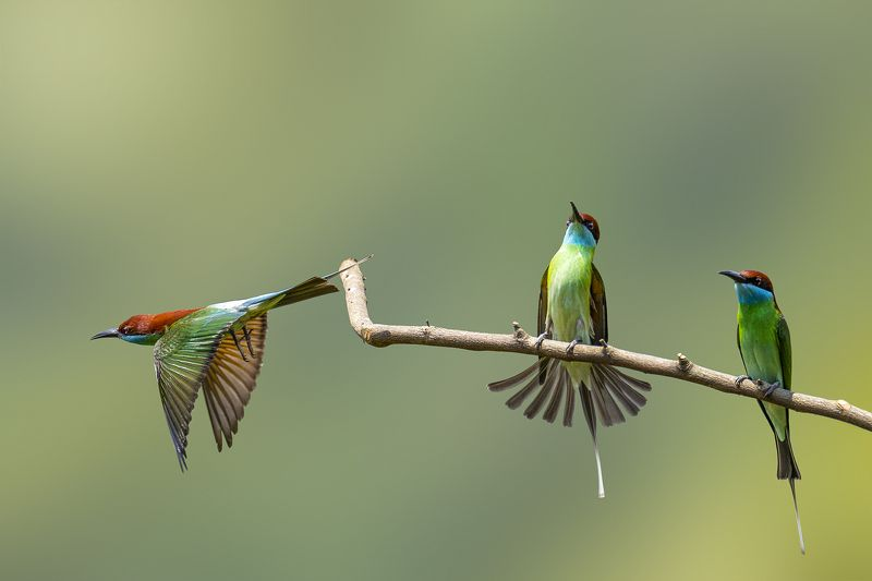 bee-eater, birds, animals, wildlife The Blue-throated Bee-eaterphoto preview