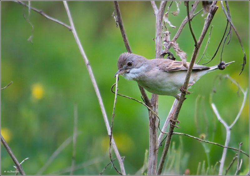 птица,славка,садовая,заботы,гнездо Славкины заботы )photo preview