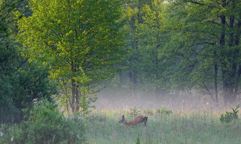 май,утро,лес, косуля,солнце,природа, Солнце на полянеphoto preview