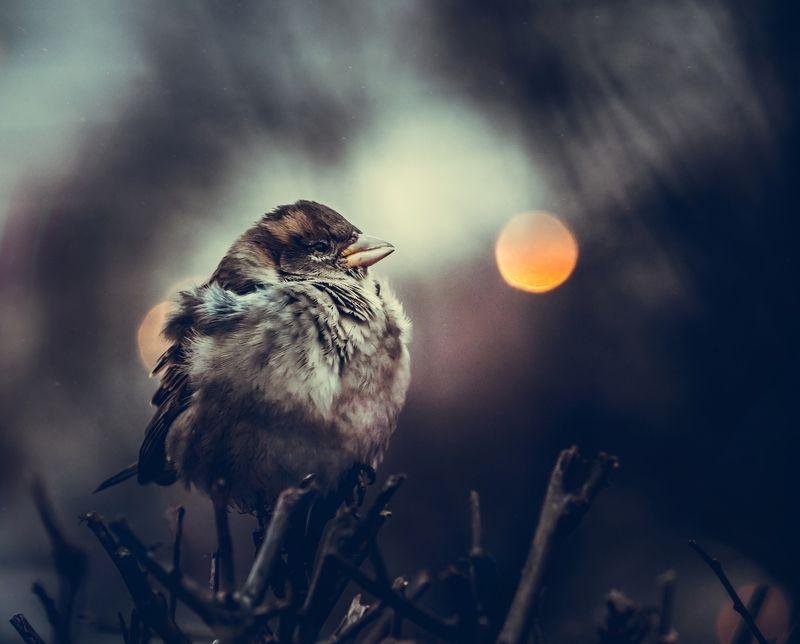 Moon sparrow.photo preview