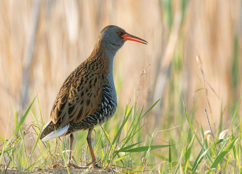 птицы,природа, весна Водяной пастушокphoto preview