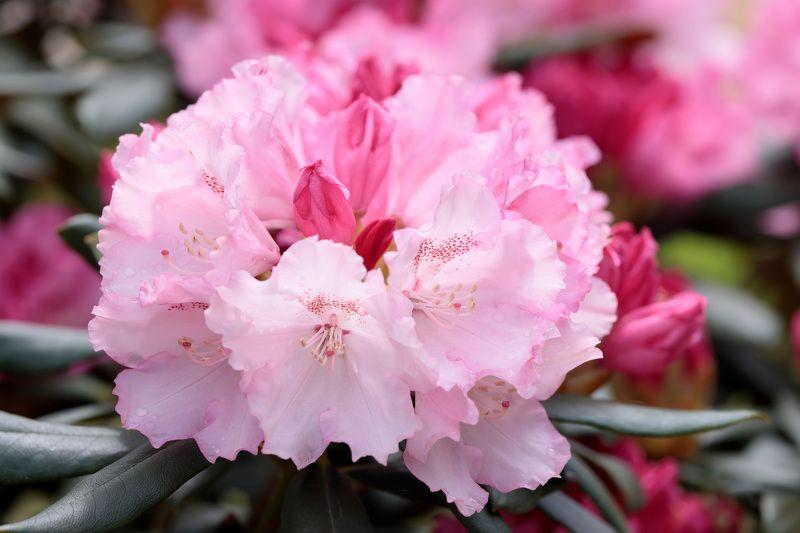 рододендрон, растение, природа, цветы Рододендронphoto preview