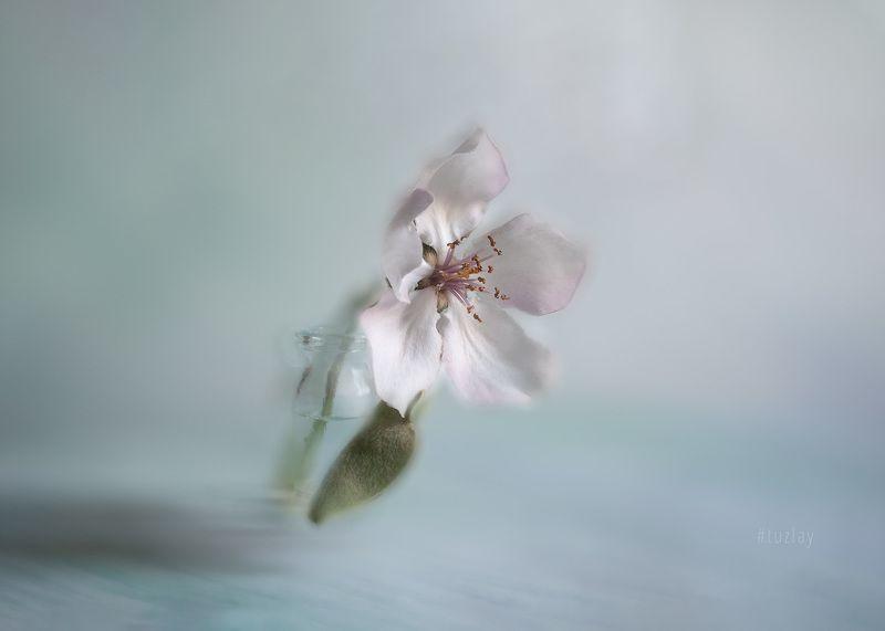 айва, цветение Фантазия с цветком айвыphoto preview