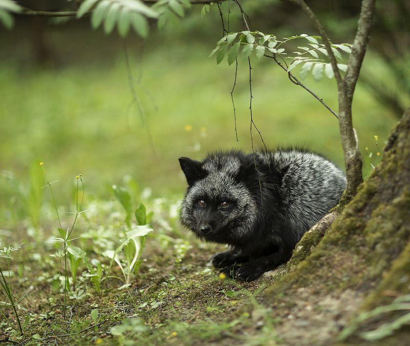 лиса,чернобурая,красотка, охота,красота,природа, fox, black, hunting,beautiful, spring, nature В засаде фото превью