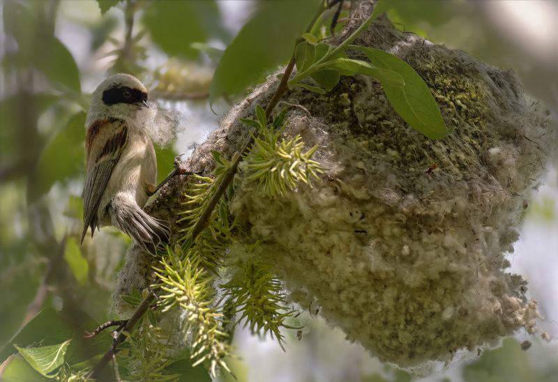 птица, ремез, гнездо, заботы, строитель, строитель.. (ремез)photo preview