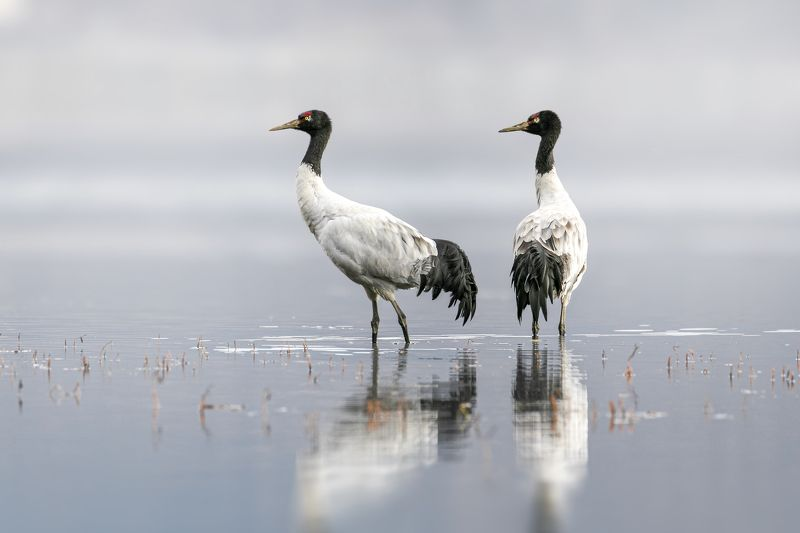 crane, black-necked cranes, wildlife, birds A couplephoto preview