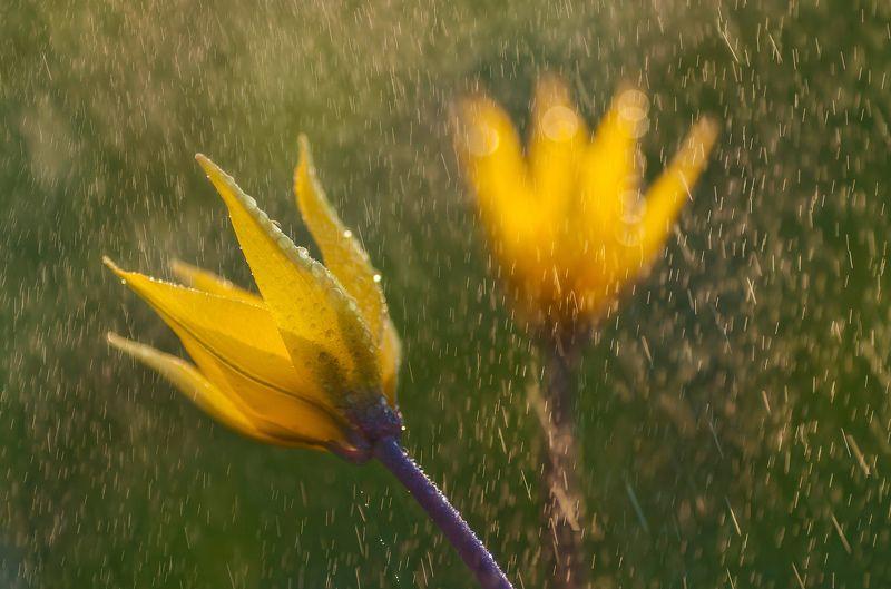 тюльпан,дикий,элегантный,жёлтый,весна,цветок,роса,закат,yellow tulip Нежные и дикиеphoto preview