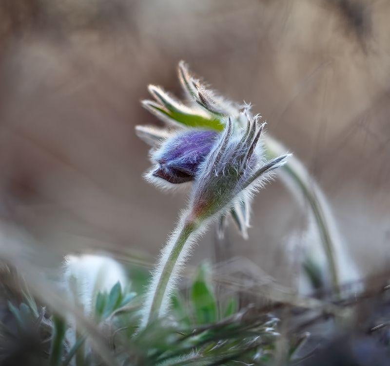 весна, макро, сон-трава, цветы обнимашки...))photo preview