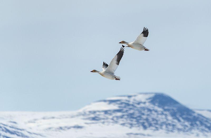 чукотка, арктика, север, весна, снег, птицы, гуси, белый гусь, перелет Дома!photo preview