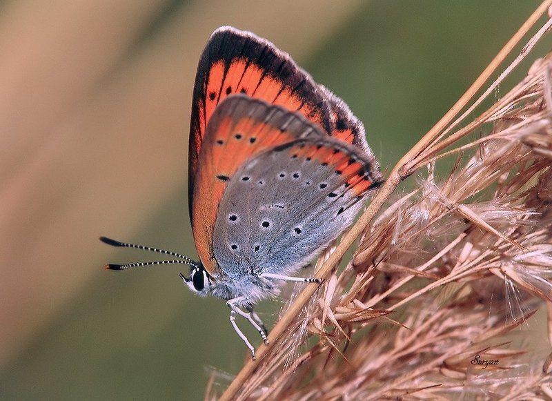 лето, бабочка, червонец Огонек на веточкеphoto preview