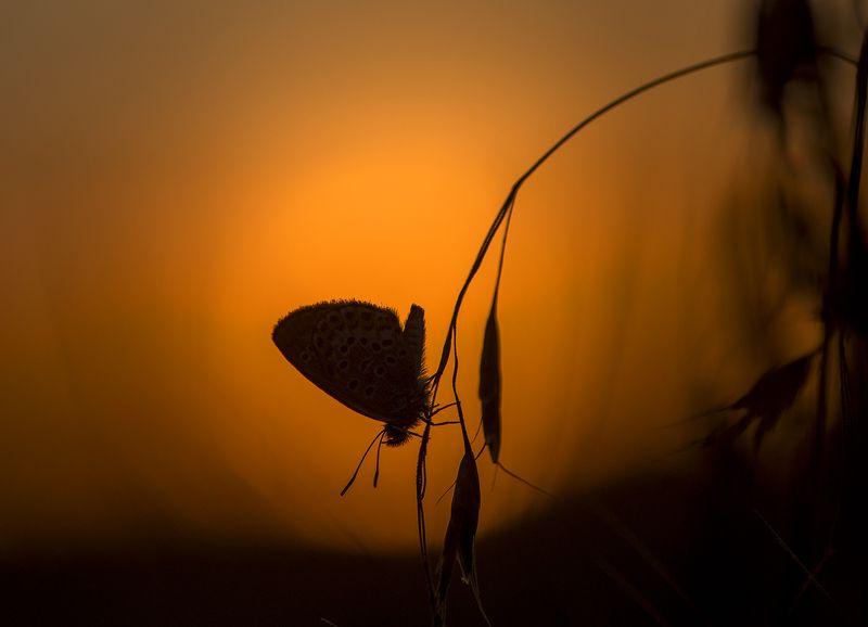 живая природа Закат с голубянкойphoto preview