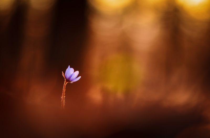 макро, цветы, цветок, одиночество, закат, краски заката, лес, тишина, покой, крик, пожар, forest, nature, macro, macro story, fowers, flower, \'To Burn In Loneliness\' / \