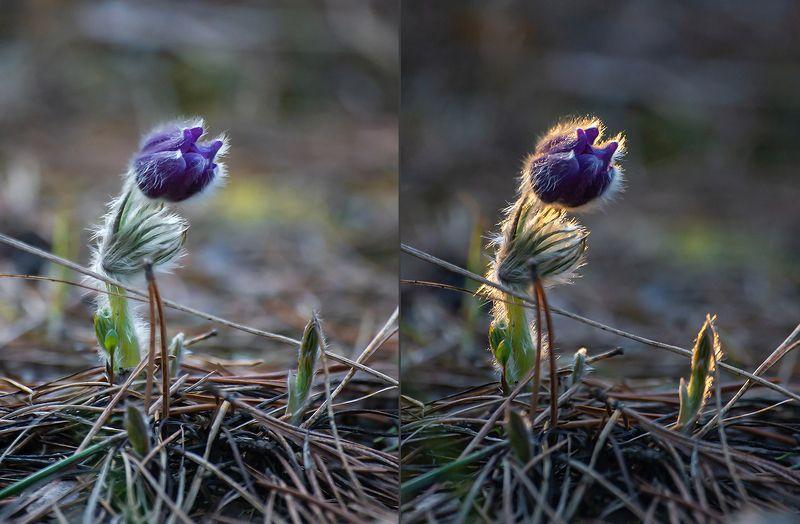 сон-трава, прострел раскрытый, мещёра, рязанская область, весна, закат В ожидании света (2)photo preview