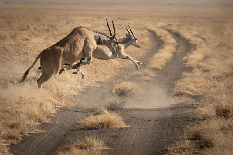 antelope, safari, africa, tour, tanzania, road, travel Antelope Jumpphoto preview