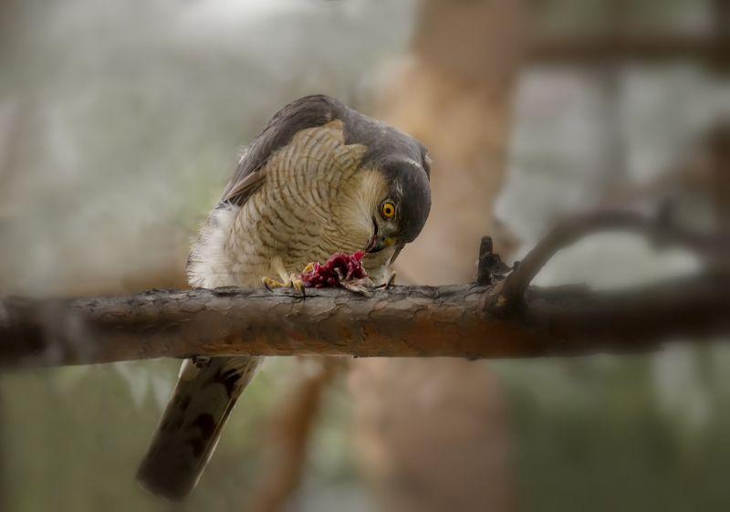 птица, ястреб, добыча, Ястреб перепелятник с добычей.photo preview